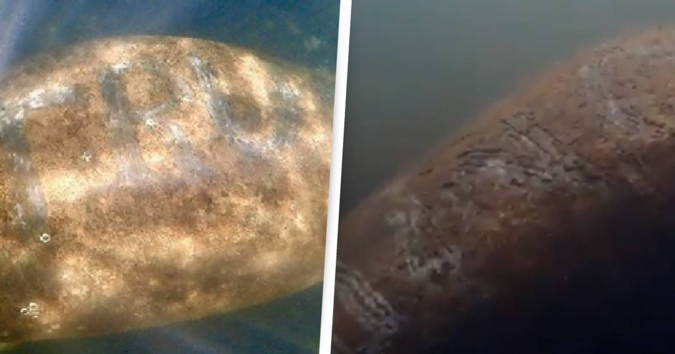 Manatee Etched With Trump On Back Under ...