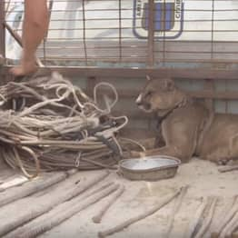 Social Media Outcry Prompts Mufasa The Mountain Lion Being Returned To Forest