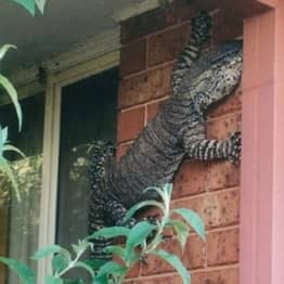 This Monster Sized Lizard Reminds Me Why Never To Live In Australia