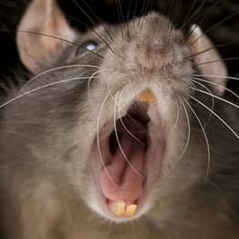 This Rat Attack Has Got Me Not Wanting To Ever Go To Bed Again
