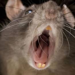 Disgusting Story Of Man Who Accidentally Shared His Crisps With A Rat
