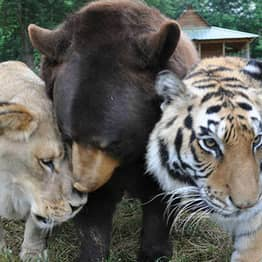 Story Of How This Lion, Tiger And Bear Became 'Brothers' Will Melt Your Heart