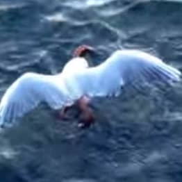 The Laws Of Nature Catch Up To Seagull In Brutal Octopus Battle Video