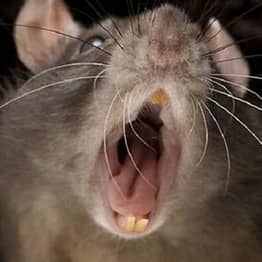 NOPE: Another Giant Super-Rat Was Just Found In The UK