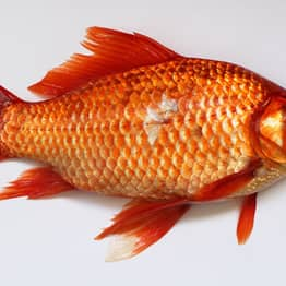 Australia Is Being Invaded – By F*cking Massive Goldfish