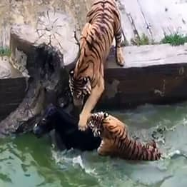 Horrifying Moment Tigers Are Fed A Live Donkey At The Zoo