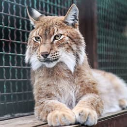 Escaped Lynx 'Who Posed No Threat To Humans' Is Killed