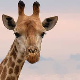 Chester Zoo Is Hiring Someone To Look After Giraffes And Rhinos