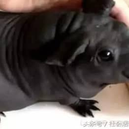 Guy Buys Puppy To Keep Him Company, Turns Out To Be A Rat