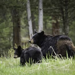 Company Handed Largest Ever Fine For Baiting Black Bears So Tourists Can Get Better Look