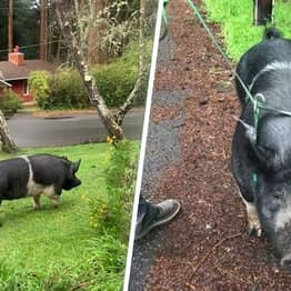 Missing 400lb Pet Pig Called Princess Slaughtered By Neighbour For His Dinner