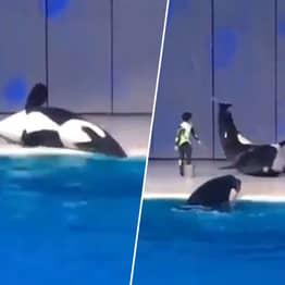 Orca Accidentally Beached While Performing Tricks Goes Viral Again