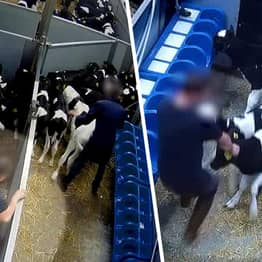 Young Calves Kicked And Beaten En Route To Slaughter In Undercover Footage
