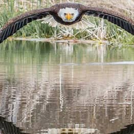 Eagle 'Staring Daggers' At Photographer Goes Viral