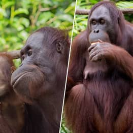 Poachers Kill Orangutan Mothers So They Can Sell Their Babies As Pets