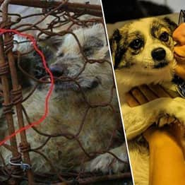 Dog Rescued From Yulin Meat Festival Makes Spectacular Recovery