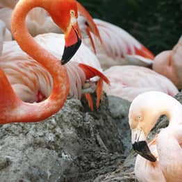 Gay Flamingos Lance Bass And Freddie Mercury Couple Up In Denver Zoo