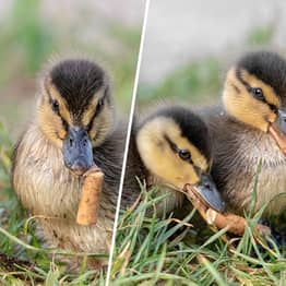 Ducklings Pictured Eating Cigarette Butts Discarded On Nature Reserve