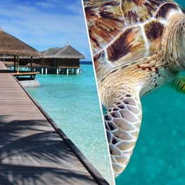 Luxury Maldives Hotel Hiring Intern To Look After Turtles With All Expenses Paid