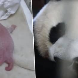 World's First Baby Panda Born Safely In Captivity In 2019