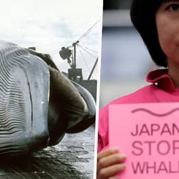 Japan To Resume Commercial Whaling After 30 Years Today