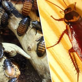 Cockroaches Are Evolving To Become Almost Impossible To Kill