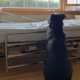Loyal Dog Waits By Owner's Hospital Bed Not Knowing He's Gone Forever