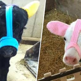 Farmers Are Protecting Calves From Frostbite With Earmuffs