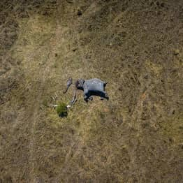 Shocking Photo Shows Mutilated Elephant With Its Tusks And Trunk Cut Off By Poachers