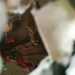 Guy Comes Home To Find Sleepy Tiger Napping In His Bed