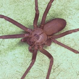Woman Thinks She Has Water In Her Ear, Doctors Find Venomous Brown Recluse Spider