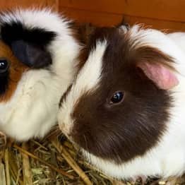 It's Illegal To Own One Guinea Pig In Switzerland Because They Get Lonely