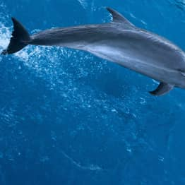 Dolphin Adopts Whale Calf In First Known Case Of Its Kind