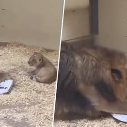 Adorable Video Shows Lion Crouching Down To Meet His Cub For The First Time