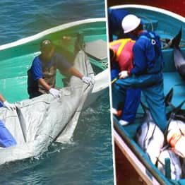 Dead Dolphins Hauled From Sea In Nets In Footage Of Japan's Annual Taiji Hunt