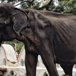 Tikiri The Elephant Dies After Photos Of Her Skeletal Body Shocked The World