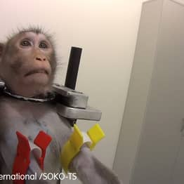 Staff At Animal Testing Lab Where Monkeys Scream In Pain Say Test Results Falsified