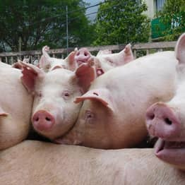 Quarter Of World's Pigs To Die Of African Swine Fever