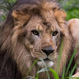 Woman Climbs Into Zoo Enclosure And Taunts Confused Lion