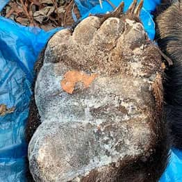 240 Bear Paws Heading To China Seized By Security Services