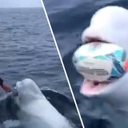 Dark Theory Suggests Beluga Playing Catch Is Actually Victim Of Russian Military Program