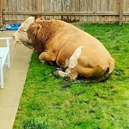 Couple Wake Up To Find Huge Bull Relaxing In Their Back Garden