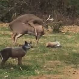 Wild Stag In Total Shock When A Statue He's Humping Loses Its Head
