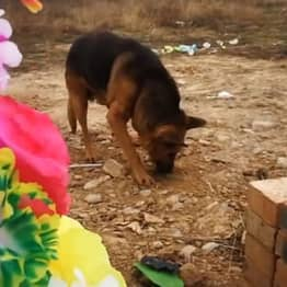 Heartbroken Dog Looking For Owner Tries To Dig Into His Tomb