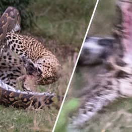 Python Tries To Eat Leopard Whole, Immediately Regrets It