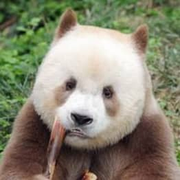 The World's Only Captive Brown Panda Who Was Bullied As A Cub Has Been Adopted