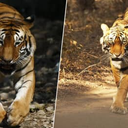 Tiger Has Now Walked More Than 1,000 Miles In Search For Sex