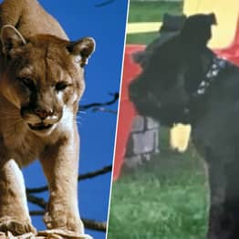 Woman Punches Mountain Lion Trying To Save Her Dog
