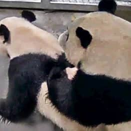 Dutch Zoo Shares Photos Of Pandas Mating After Waiting Three Years For Them To Get It On