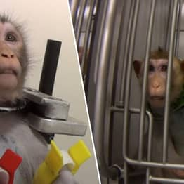 German Laboratory Where Monkeys Filmed Screaming Ordered To Hand Over All Animals